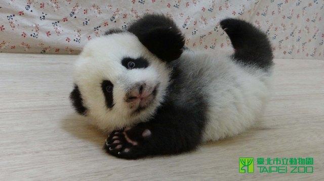 panda-21